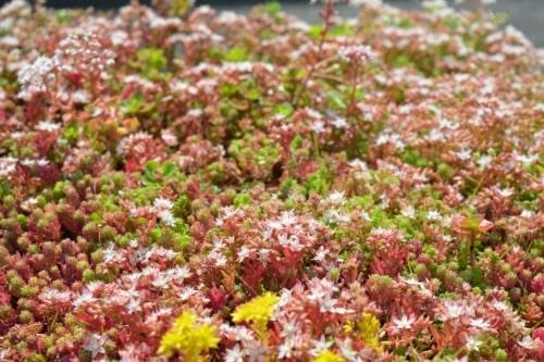 Sedum StockDrain bac de végétation précultivée pour toiture verte