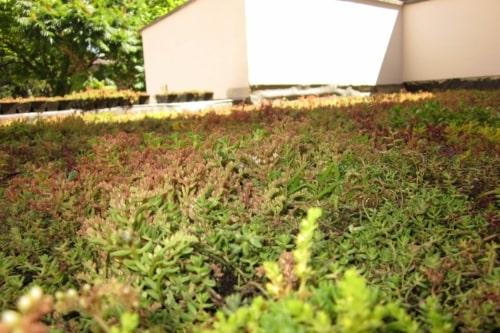 Bacs pré-cultivés pour une toiture verte avec un résultat fini immédiat