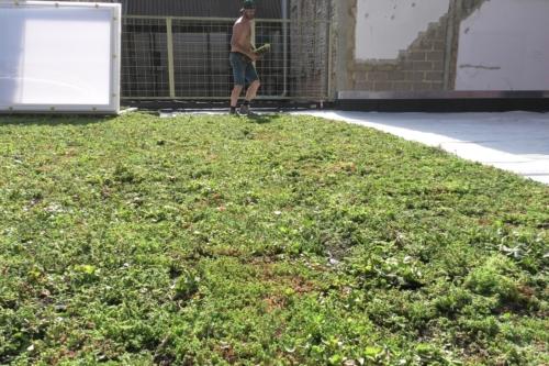 Solution de drainage pour toiture verte tout en 1 : bacs de sedum pré-cultivés